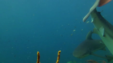 Several-sharks-are-fed-by-an-underwater-diver