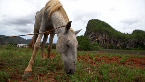 A-horse-is-tied-up-at-a-farm-in-Vinales-National-park-in-Cuba