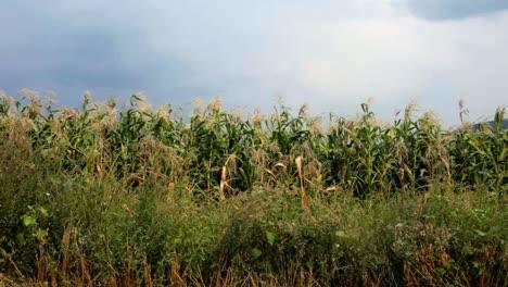 Corn-Field0