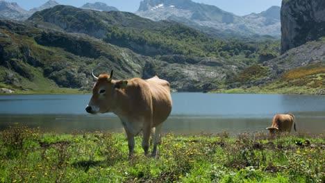 Covadonga-Cow-00