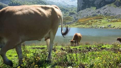 Covadonga-Cow-01