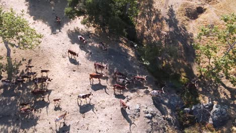 An-Excellent-Aerial-Shot-Of-Longhorn-Cattle-Walking-Towards-A-Ranch