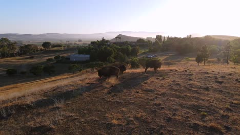 An-Excellent-Aerial-Shot-Of-Bison-Resting-On-The-Grass-In-San-Luis-Obispo-California