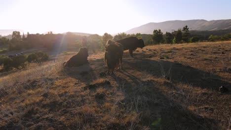 An-Excellent-Aerial-Shot-Of-Bison-In-San-Luis-Obispo-California