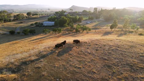 An-Excellent-Aerial-Shot-Pulls-Away-From-Bison-In-San-Luis-Obispo-California