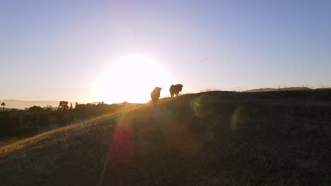An-Excellent-Aerial-Shot-Of-Bison-At-Sunset-In-San-Luis-Obispo-California