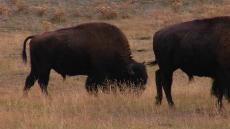 Buffalo-Graze-In-Yellowstone-National-Park-Wyoming