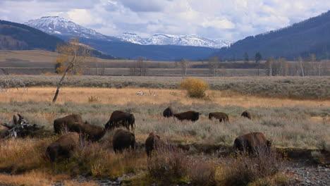 Büffel-Und-Bisons-Grasen-Im-Yellowstone-Nationalpark-In-Wyoming