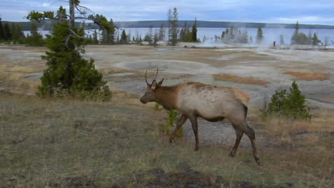 An-Elk-Grazes-In-Yellowstone-National-Park