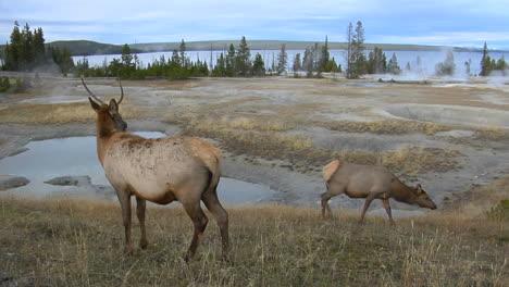 Los-Alces-Pastan-Cerca-De-Una-Fuente-Termal-Natural-En-El-Parque-Nacional-De-Yellowstone-