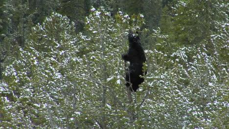 A-Black-Bear-Climbs-A-Snowy-Tree
