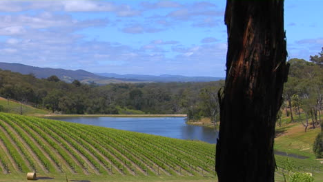 Grapes-Grow-In-The-Vineyards-Of-Victoria-Australia