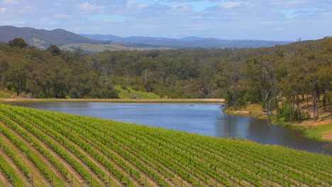 Grapes-Grow-In-The-Vineyards-Of-Victoria-Australia-1