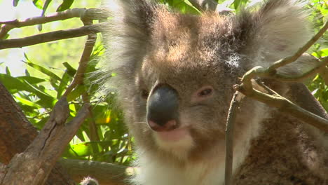 A-Koala-Bear-Peers-Out-Of-A-Eucalyptus-Tree-And-Scratches-An-Itch