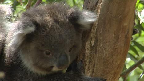 A-Koala-Climbs-A-Eucalyptus-Tree-In-Australia