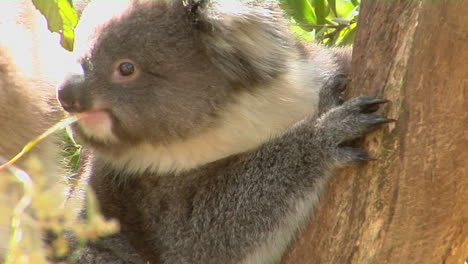 A-Koala-Bear-Sits-In-A-Tree-1