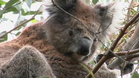 A-Koala-Bear-Sits-In-A-Tree-2
