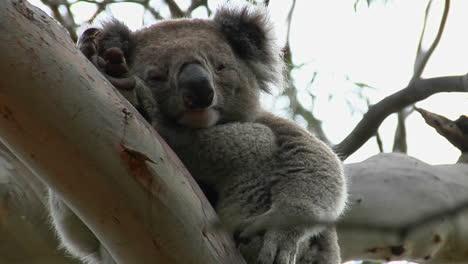 Un-Oso-Koala-Dormido-Mira-Hacia-Abajo-Desde-La-Rama-De-Un-árbol