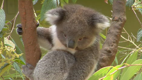 A-Koala-Bear-Sits-In-A-Eucalyptus-Tree-In-Australia