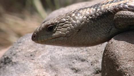 A-Lizard-On-A-Rock-Flicks-Its-Tongue-And-Crawls-Forward