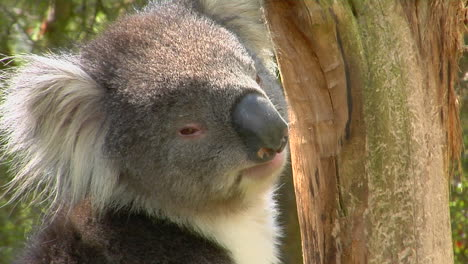 A-Koala-Bear-Turns-Its-Head-And-Looks-Around-While-Sitting-In-A-Tree