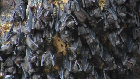 Closeup-Of-Bats-On-A-Wall-At-The-Pura-Goa-Lawah-Temple-In-Indonesia