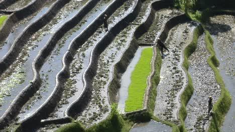 Farm-Workers-Hoe-In-Terraced-Rice-Fields