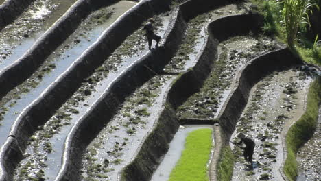 Farm-Workers-Hoe-In-Terraced-Rice-Fields-1