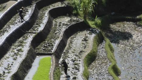 Farm-Workers-Hoe-In-Terraced-Rice-Fields-2
