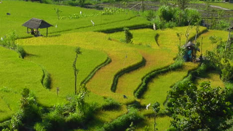 A-Breeze-Blows-Through-A-Lush-Terraced-Rice-Farm