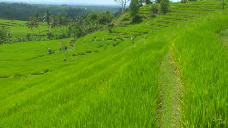 A-Breeze-Blows-Over-A-Lush-Green-Terraced-Hill-On-A-Rice-Farm