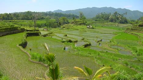 Rice-Grows-On-Terraced-Fields-In-Bali-Indonesia