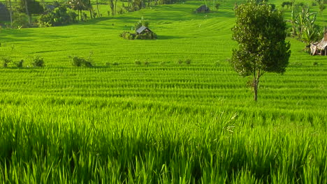 A-Breeze-Blows-Over-A-Lush-Green-Terraced-Hill-On-A-Rice-Farm-1