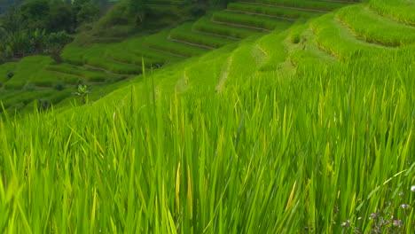 Una-Brisa-Sopla-Sobre-Una-Exuberante-Colina-Verde-En-Terrazas-En-Una-Granja-De-Arroz-2