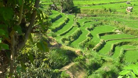 A-Terraced-Rice-Farm-Grows-Green-Fields