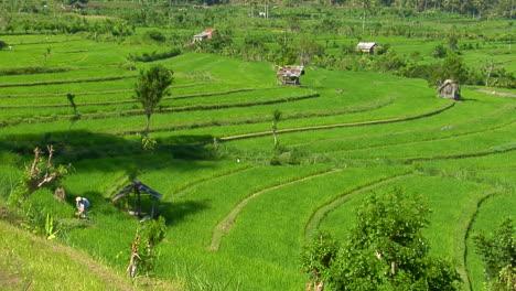 A-Terraced-Rice-Farm-Grows-Green-Fields-1