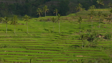 A-Terraced-Rice-Farm-Grows-Green-Fields-5