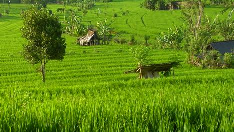 Una-Granja-De-Arroz-En-Terrazas-Cultiva-Campos-Verdes-7