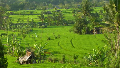 A-Terraced-Rice-Farm-Grows-Green-Fields-8