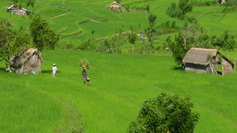 Una-Granja-De-Arroz-En-Terrazas-Cultiva-Campos-Verdes-9