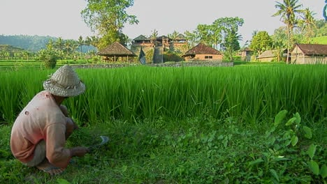 A-Worker-Gathers-Rice-On-A-Lush-Terraced-Rice-Farm
