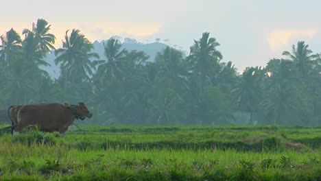 A-Man-Plows-A-Field-With-A-Water-Buffalo-In-The-Rice-Paddies-Of-Bali-Indonesia