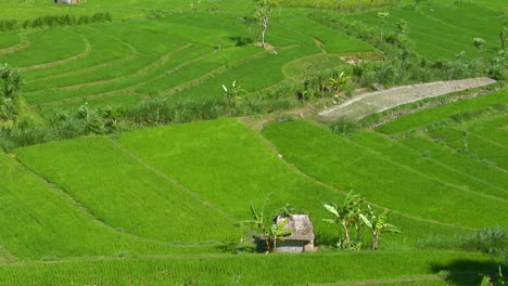 A-Breeze-Ripples-Rice-Plants-In-A-Large-Field