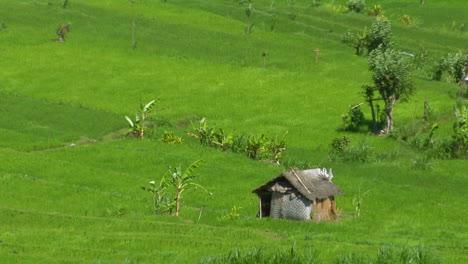 Wind-Blows-Across-A-Lush-Green-Terraced-Rice-Farm