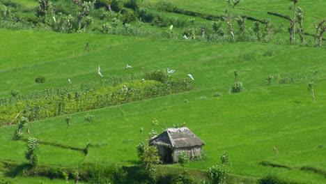 Wind-Blows-Across-A-Lush-Green-Terraced-Rice-Farm-1