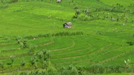 Wind-Blows-Across-A-Lush-Green-Field-Of-A-Terraced-Rice-Farm