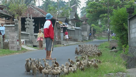 A-Man-Herds-A-Gaggle-Of-Geese-Down-A-Road-In-A-Small-Village