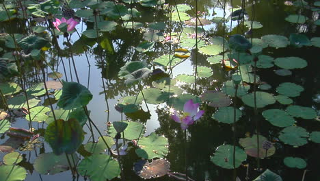 Water-Lilies-And-Lily-Pads-Float-In-A-Pond