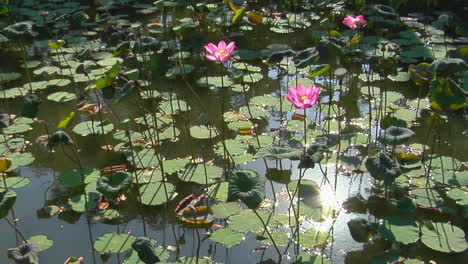 The-Sun-Reflects-On-A-Pond-Through-Lily-Pads-And-Through-Lotus-Blossoms