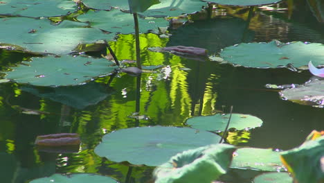A-Petal-Floats-Past-Lily-Pads-In-A-Pond